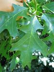 summer photograph Moeraseik__Quercus_palustris__Pin_oakimg_5714.jpg