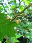 summer photograph Moeraseik__Quercus_palustris__Pin_oakimg_5715fruit.jpg