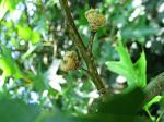 summer photograph Moeraseik__Quercus_palustris__Pin_oakimg_5717.jpg