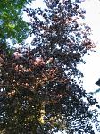 summer photograph Rode_beuk__Fagus_Sylvatica__Copper_beechimg_5466.jpg