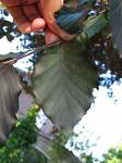 summer photograph Rode_beuk__Fagus_Sylvatica__Copper_beechimg_5469.jpg