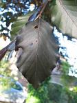 summer photograph Rode_beuk__Fagus_Sylvatica__Copper_beechimg_5470.jpg