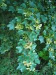 summer photograph Spaanse_aak__Acer_campestre__Hedge_mapleimg_4278.jpg