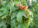 summer photograph Spaanse_aak__Acer_campestre__Hedge_mapleimg_4921.jpg