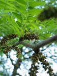 summer photograph Valse_christusdoorn__Gleditsia_triacanthos__Honeylocustimg_4302.jpg