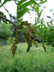 summer photograph Valse_christusdoorn__Gleditsia_triacanthos__Honeylocustimg_4366.jpg