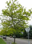 summer photograph Valse_christusdoorn__Gleditsia_triacanthos__Honeylocustimg_4368.jpg