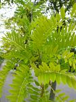 summer photograph Valse_christusdoorn__Gleditsia_triacanthos__Honeylocustimg_4371.jpg