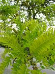 summer photograph Valse_christusdoorn__Gleditsia_triacanthos__Honeylocustimg_4372.jpg