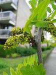 summer photograph Valse_christusdoorn__Gleditsia_triacanthos__Honeylocustimg_4374bloem.jpg