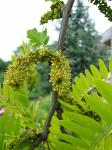 summer photograph Valse_christusdoorn__Gleditsia_triacanthos__Honeylocustimg_4375.jpg