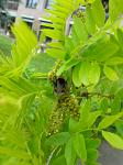 summer photograph Valse_christusdoorn__Gleditsia_triacanthos__Honeylocustimg_4376.jpg