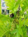 summer photograph Valse_christusdoorn__Gleditsia_triacanthos__Honeylocustimg_4377bloem.jpg