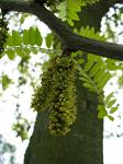 summer photograph Valse_christusdoorn__Gleditsia_triacanthos__Honeylocustimg_4381bloem.jpg