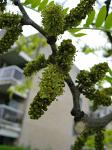 summer photograph Valse_christusdoorn__Gleditsia_triacanthos__Honeylocustimg_4383.jpg