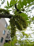 summer photograph Valse_christusdoorn__Gleditsia_triacanthos__Honeylocustimg_4384.jpg