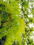 summer photograph Valse_christusdoorn__Gleditsia_triacanthos__Honeylocustimg_4385.jpg