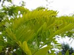 summer photograph Valse_christusdoorn__Gleditsia_triacanthos__Honeylocustimg_4386.jpg