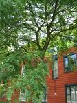 summer photograph Valse_christusdoorn__Gleditsia_triacanthos__Honeylocustimg_5387.jpg